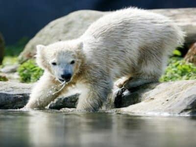 Zoom Erlebniswelt kleiner Eisbär am Wasser