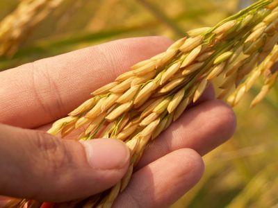 Schmuckbild Nachhaltigkeit Hand mit Weizen
