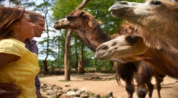 Kamele vor Päärchen in der ZOOM Erlebniswelt Gelsenkirchen